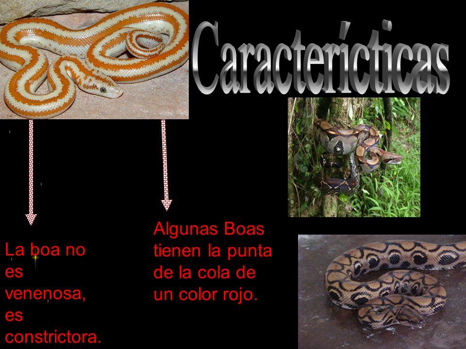 La boa no es venenosa, es constrictora. Algunas Boas tienen la punta de la cola de un color rojo.