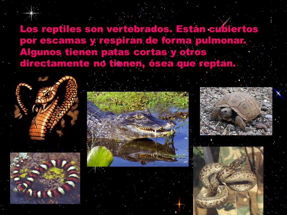 Los reptiles son vertebrados. Están cubiertos por escamas y respiran de forma pulmonar. Algunos tienen patas cortas y otros directamente no tienen, ós