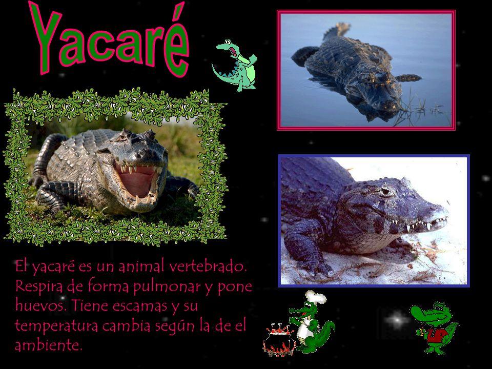 El yacaré es un animal vertebrado. Respira de forma pulmonar y pone huevos. Tiene escamas y su temperatura cambia según la de el ambiente.