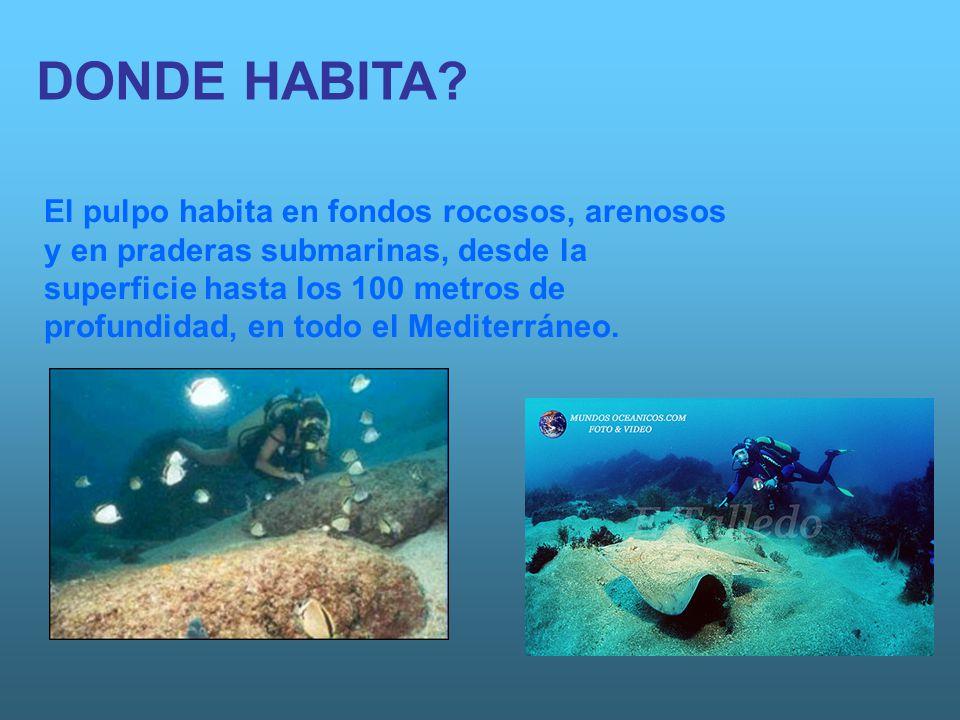 DONDE HABITA? El pulpo habita en fondos rocosos, arenosos y en praderas submarinas, desde la superficie hasta los 100 metros de profundidad, en todo e