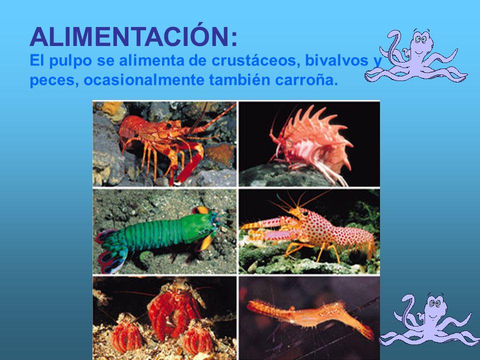 ALIMENTACIÓN: El pulpo se alimenta de crustáceos, bivalvos y peces, ocasionalmente también carroña.