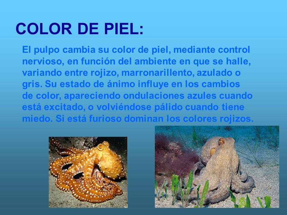 COLOR DE PIEL: El pulpo cambia su color de piel, mediante control nervioso, en función del ambiente en que se halle, variando entre rojizo, marronaril