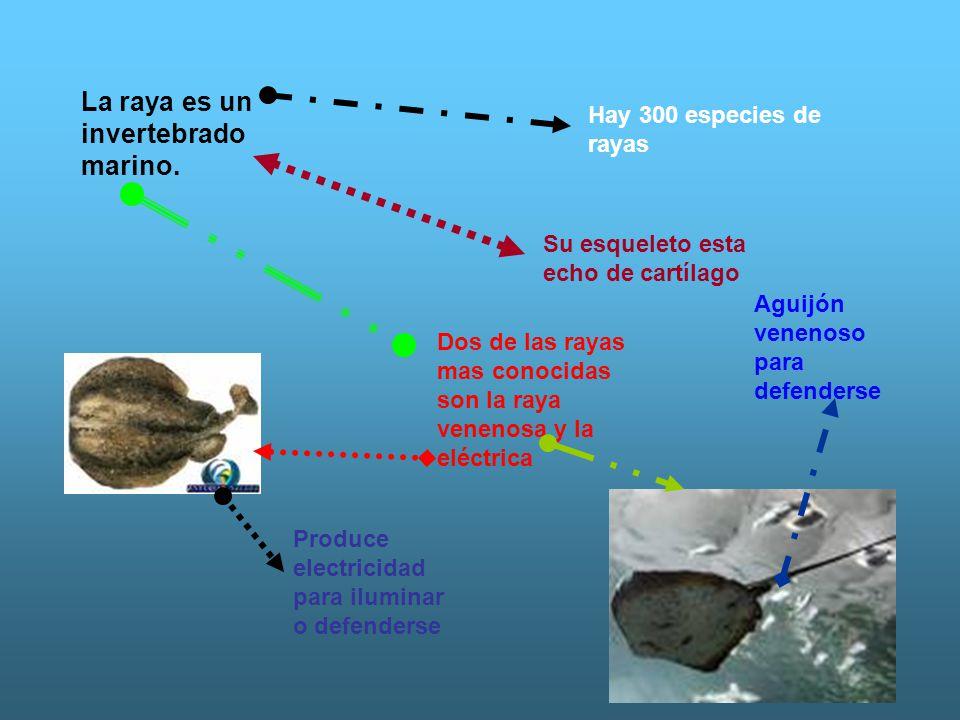 La raya es un invertebrado marino. Hay 300 especies de rayas Su esqueleto esta echo de cartílago Dos de las rayas mas conocidas son la raya venenosa y