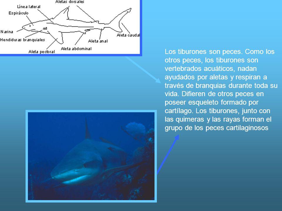 Los tiburones son peces. Como los otros peces, los tiburones son vertebrados acuáticos, nadan ayudados por aletas y respiran a través de branquias dur