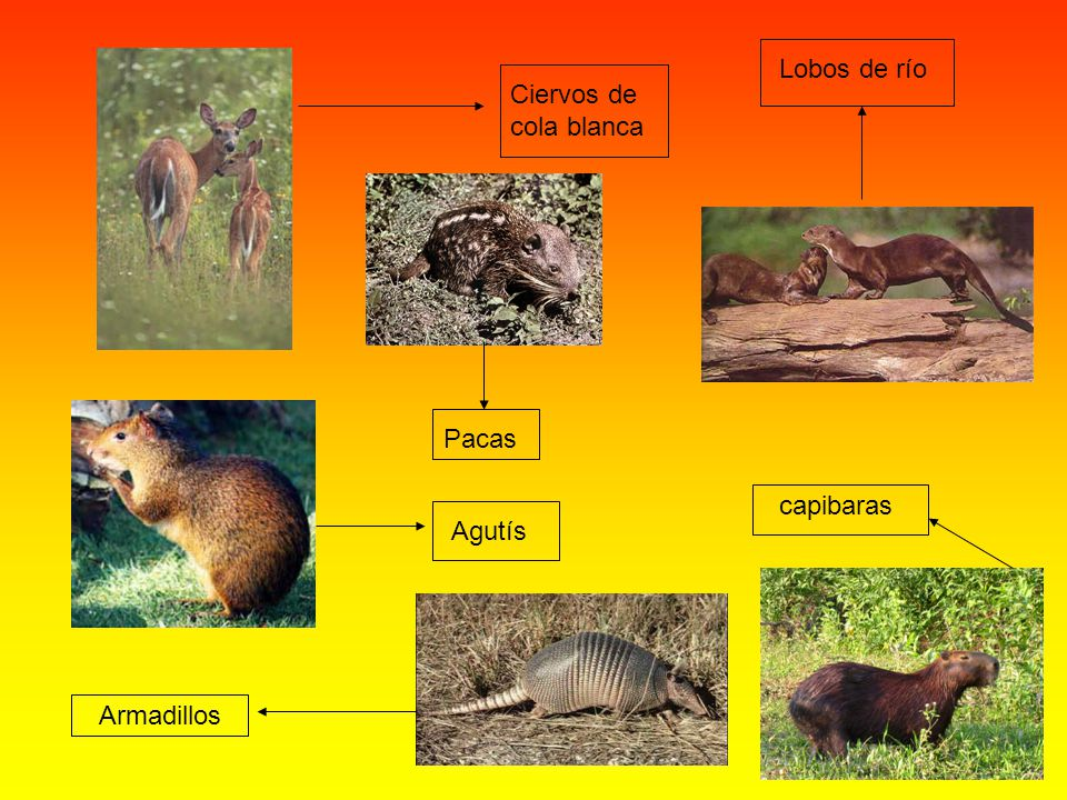Ciervos de cola blanca Lobos de río capibaras Pacas Agutís Armadillos