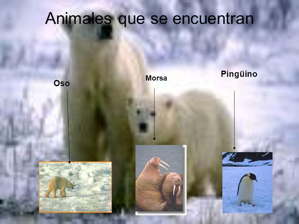 Animales que se encuentran Oso Morsa Pingüino