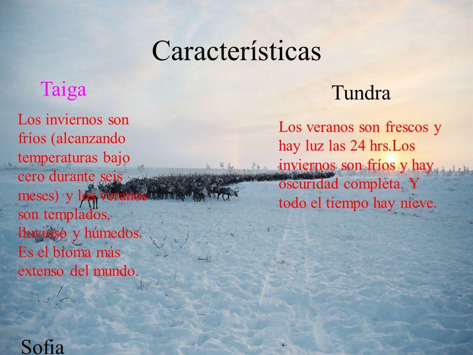 Flora Tundra: líquenes, pastos y juncos Taiga coníferas ( abetos, alerces y pinos) mayor parte de coníferas, abetos, pinos, alerces, y abedules.