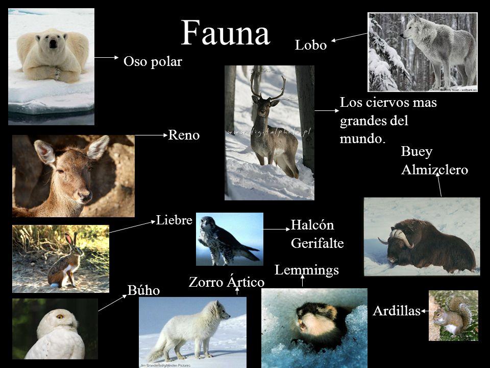Fauna Tundra: Reno, buey almizclero, el lobo, liebre ártica, halcón gerifalte, el búho, el zorro ártico y, el oso polar.etc Taiga: alces, bisontes, lobos, osos, martas, linces, ardillas, marmotas, castores, lemmings y venados.