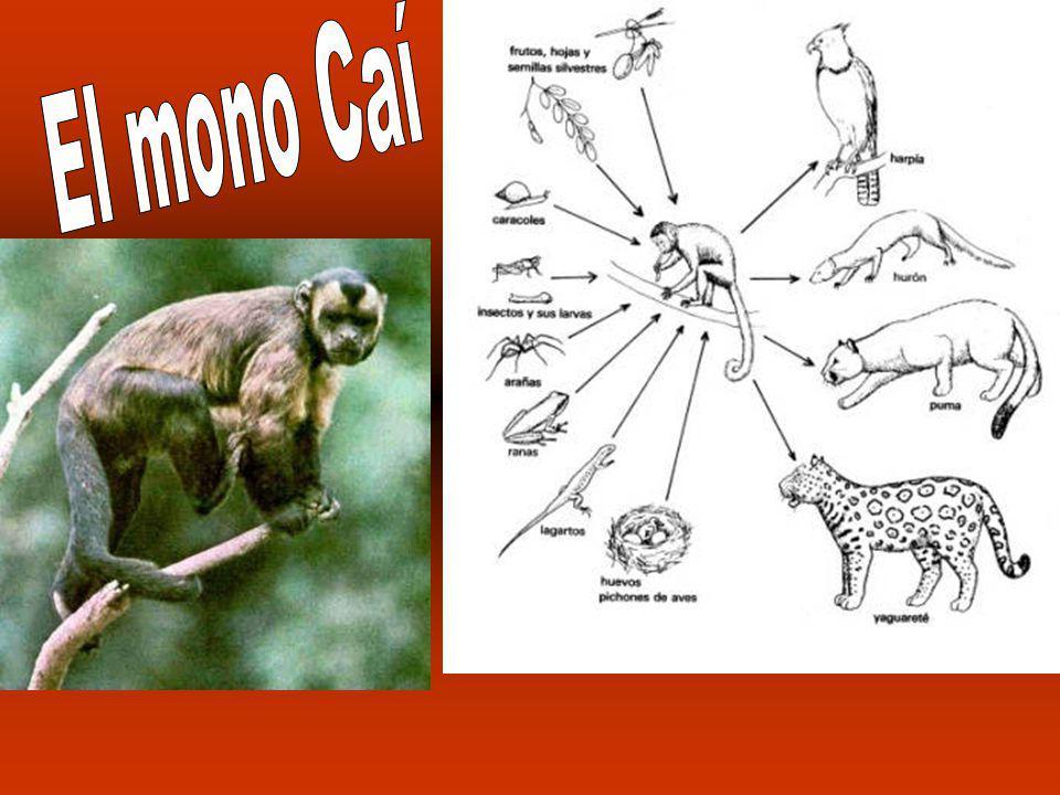 Miden entre 40 a 1,40 cm. de longitud. Lo más frecuente es que los adultos midan más de 80 cm.