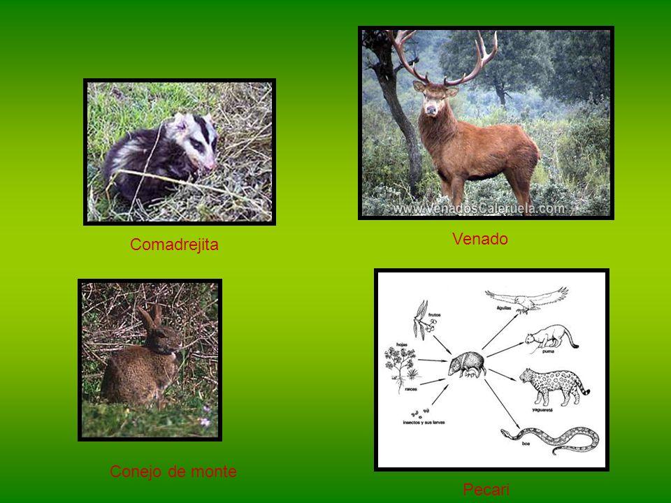 En la selva misionera se pueden encontrar varios animales… Inambu MacucoPaloma de monte armadillo Oso hormiguero Ratón