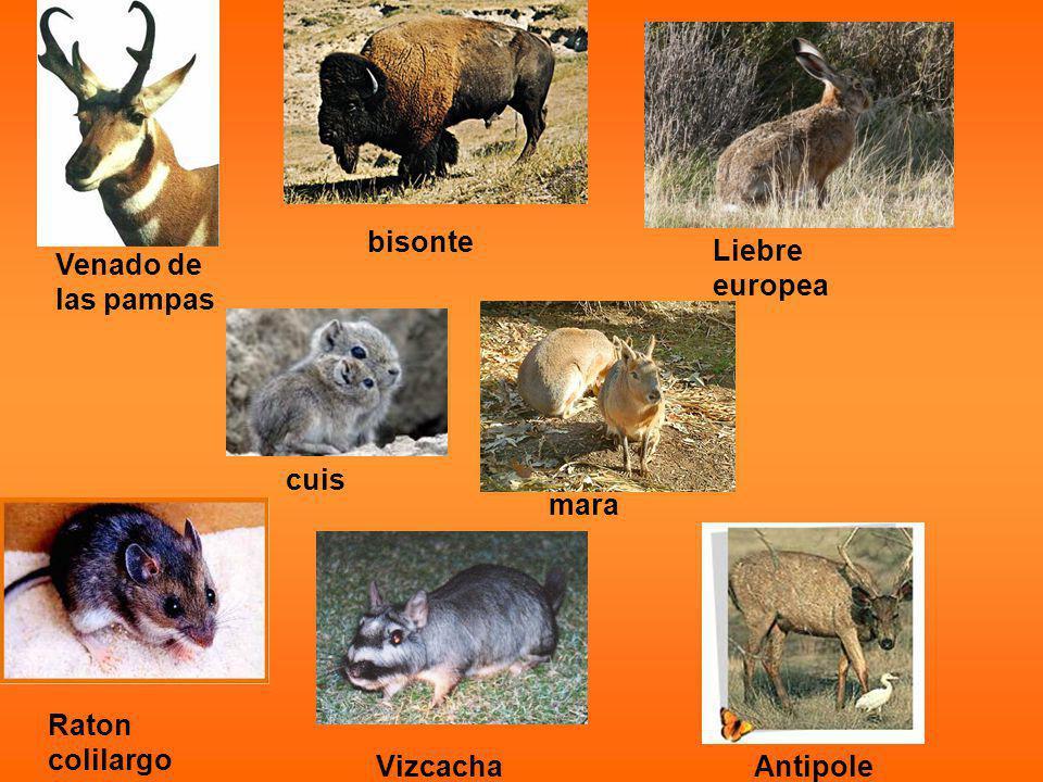 Venado de las pampas bisonte Liebre europea Raton colilargo VizcachaAntipole mara cuis