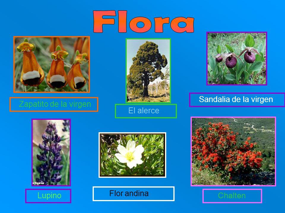 Zapatito de la virgen El alerce Sandalia de la virgen Chalten Lupino Flor andina