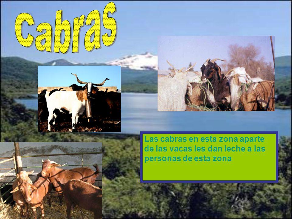 Las vacas son la mayor fuente de reproducción en esta región vacas anonymus Vaca lechera