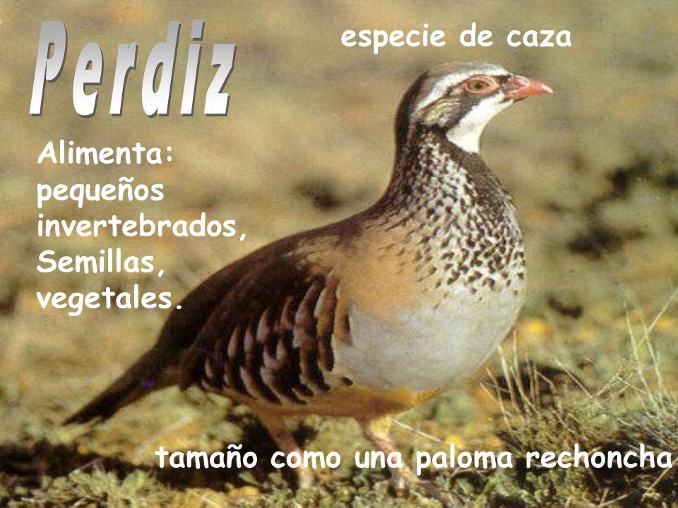 especie de caza tamaño como una paloma rechoncha Alimenta: pequeños invertebrados, Semillas, vegetales.