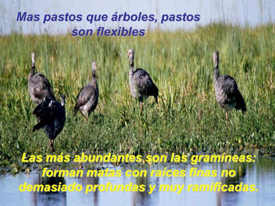 Las más abundantes son las gramíneas: forman matas con raíces finas no demasiado profundas y muy ramificadas Las más abundantes son las gramíneas: for