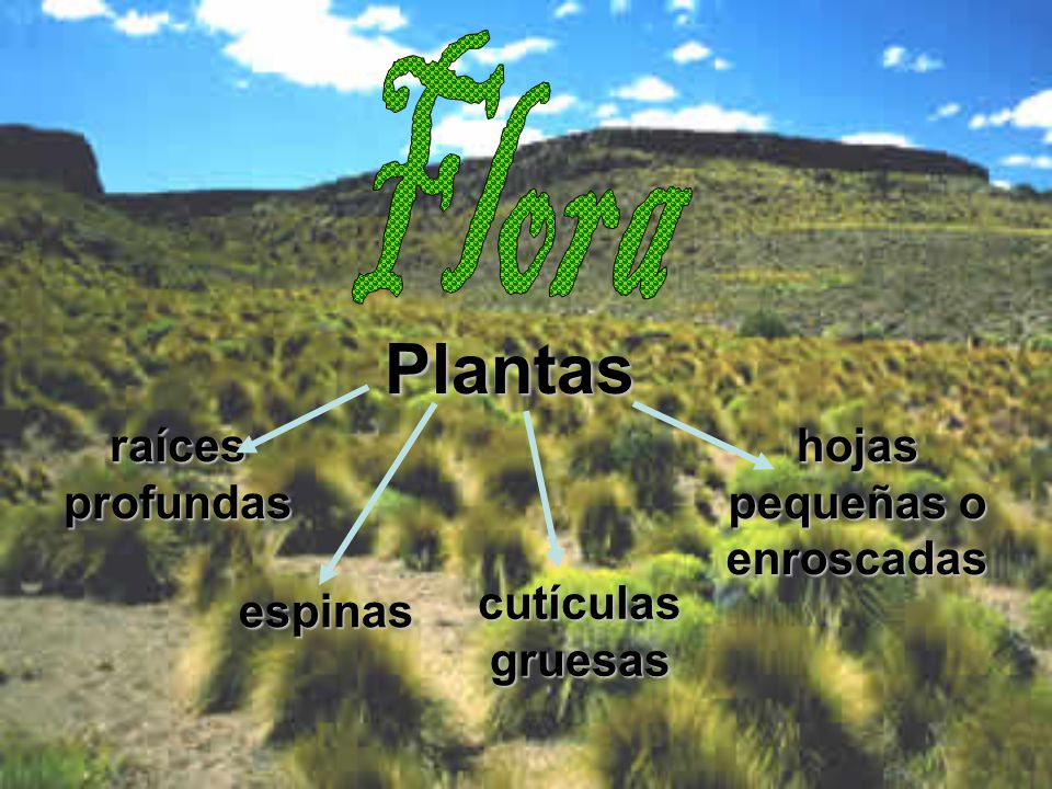 Plantas raíces profundas hojas pequeñas o enroscadas cutículas gruesas espinas