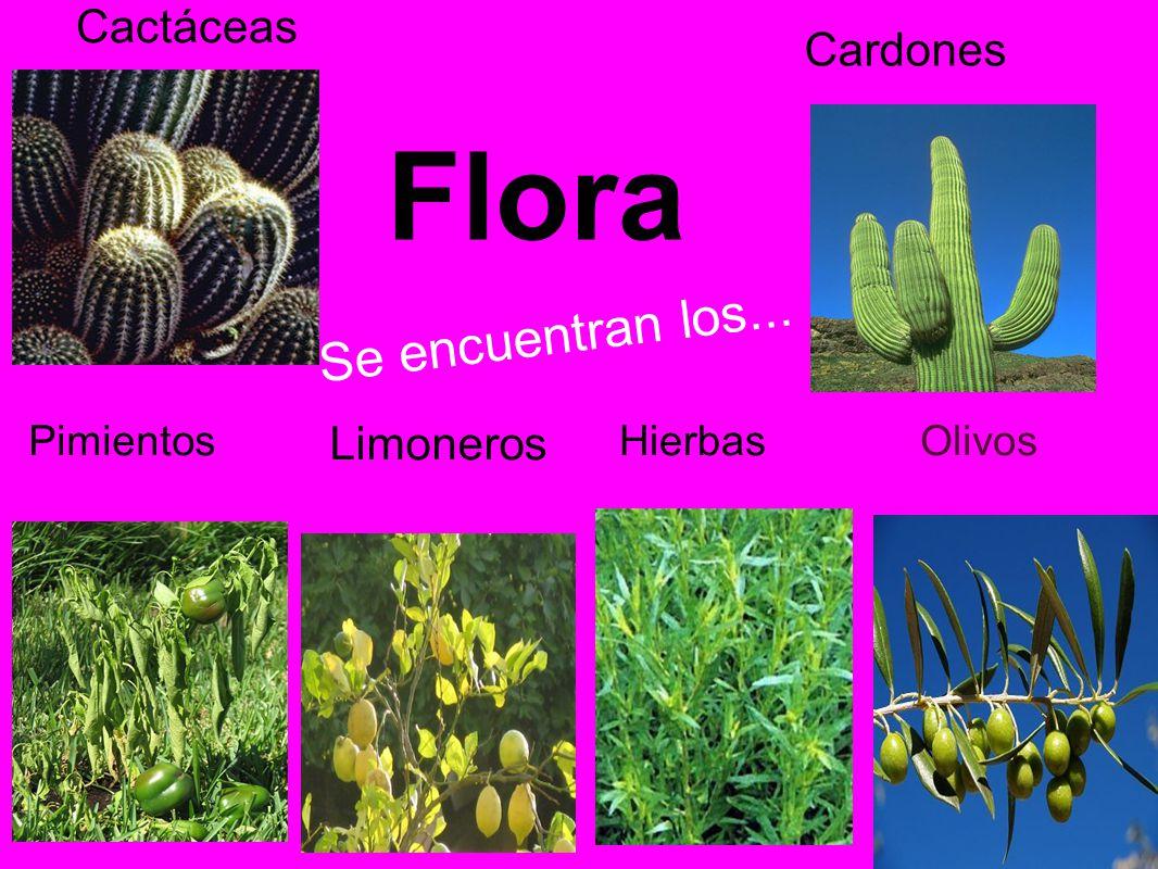 Flora Cactáceas Cardones Se encuentran los... Limoneros OlivosHierbasPimientos