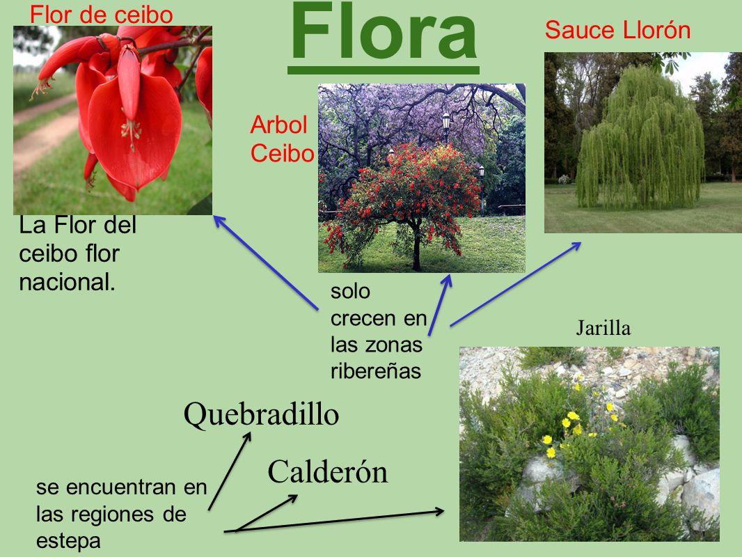 Flora La Flor del ceibo flor nacional. Flor de ceibo Sauce Llorón Arbol Ceibo Jarilla solo crecen en las zonas ribereñas se encuentran en las regiones