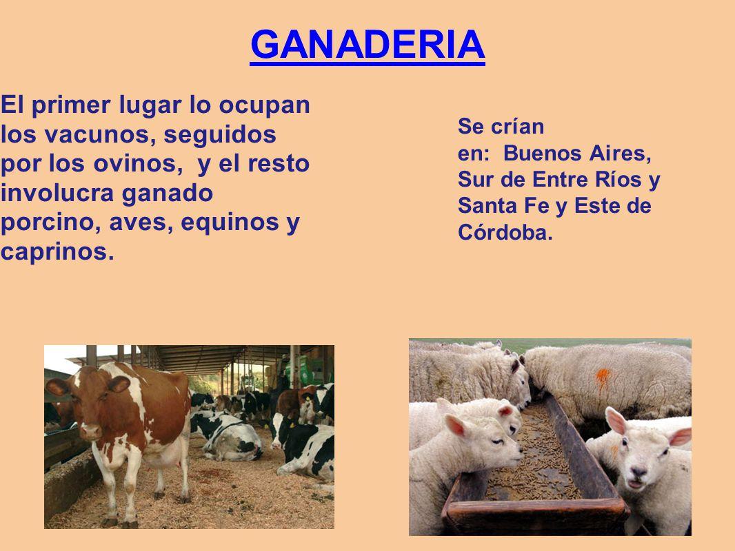 GANADERIA El primer lugar lo ocupan los vacunos, seguidos por los ovinos, y el resto involucra ganado porcino, aves, equinos y caprinos. Se crían en: