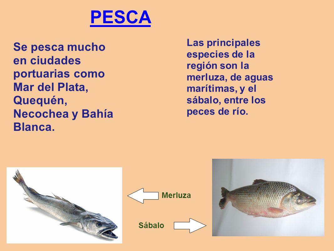 PESCA Se pesca mucho en ciudades portuarias como Mar del Plata, Quequén, Necochea y Bahía Blanca. Merluza Sábalo Las principales especies de la región