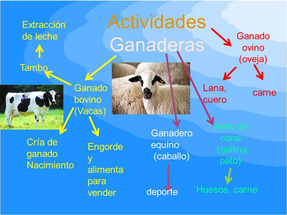 Actividades Ganaderas Ganado bovino (Vacas) Cría de ganado Nacimiento Engorde y alimenta para vender Tambo Extracción de leche Ganado ovino (oveja) La