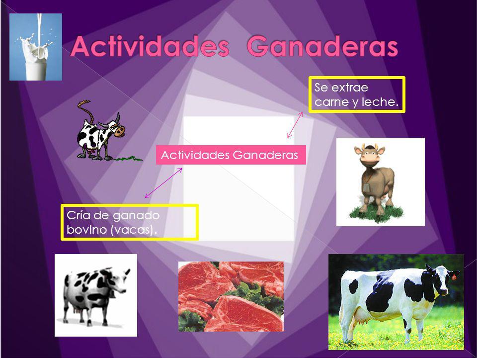 Actividades Ganaderas Cría de ganado bovino (vacas). Se extrae carne y leche.