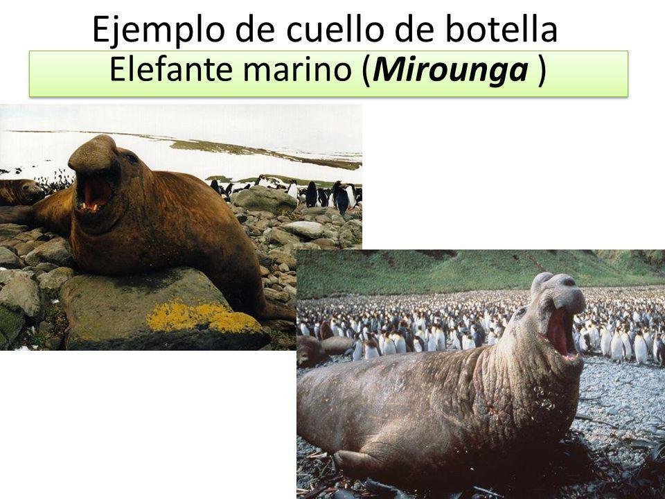 Ejemplo de cuello de botella Elefante marino (Mirounga )
