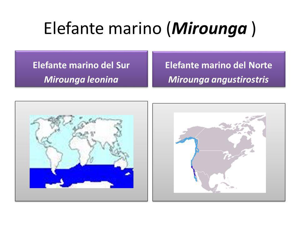 Elefante marino del Sur Mirounga leonina Elefante marino del Sur Mirounga leonina Elefante marino del Norte Mirounga angustirostris Elefante marino de