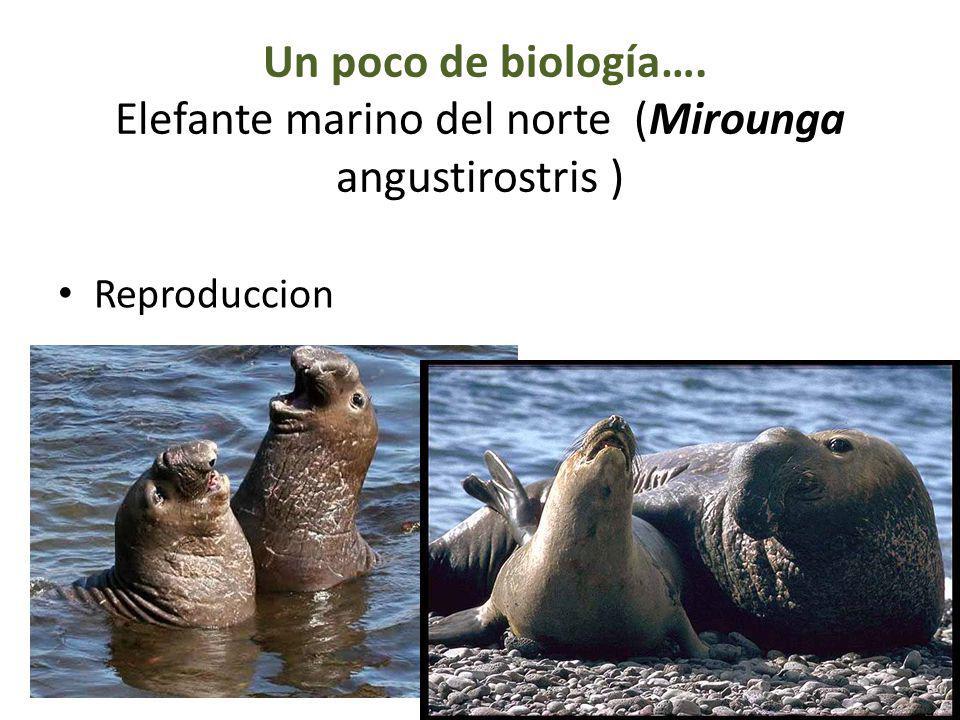 Un poco de biología…. Elefante marino del norte (Mirounga angustirostris ) Reproduccion