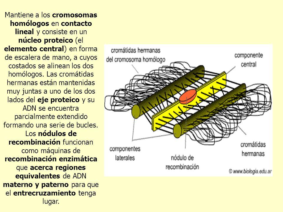 Mantiene a los cromosomas homólogos en contacto lineal y consiste en un núcleo proteico (el elemento central) en forma de escalera de mano, a cuyos co