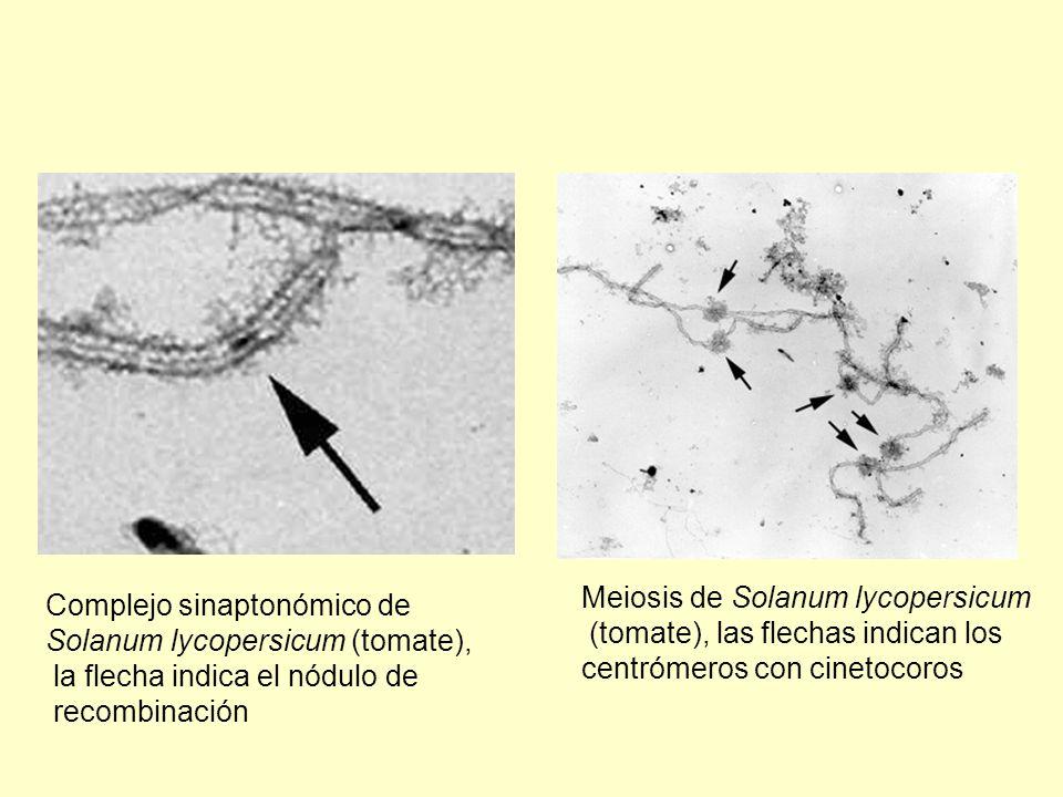 Complejo sinaptonómico de Solanum lycopersicum (tomate), la flecha indica el nódulo de recombinación Meiosis de Solanum lycopersicum (tomate), las fle
