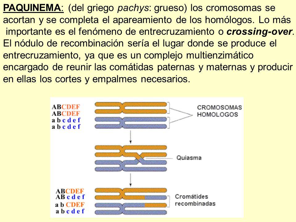 PAQUINEMA: (del griego pachys: grueso) los cromosomas se acortan y se completa el apareamiento de los homólogos. Lo más importante es el fenómeno de e