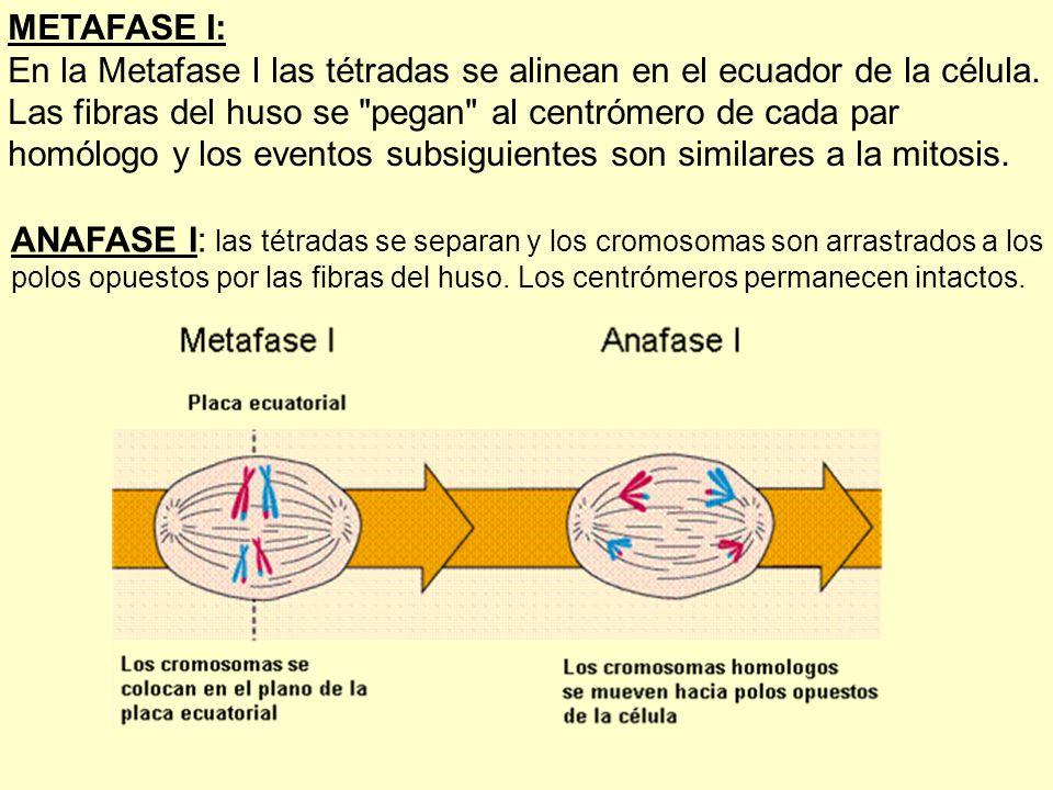 METAFASE I: En la Metafase I las tétradas se alinean en el ecuador de la célula. Las fibras del huso se