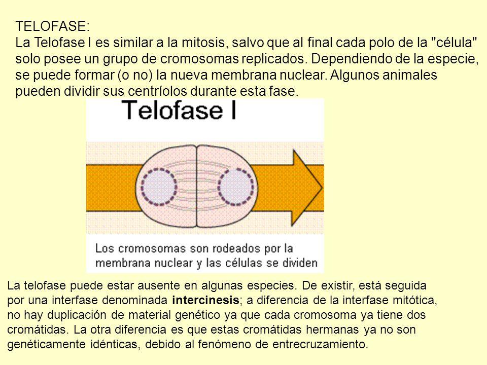 TELOFASE: La Telofase I es similar a la mitosis, salvo que al final cada polo de la