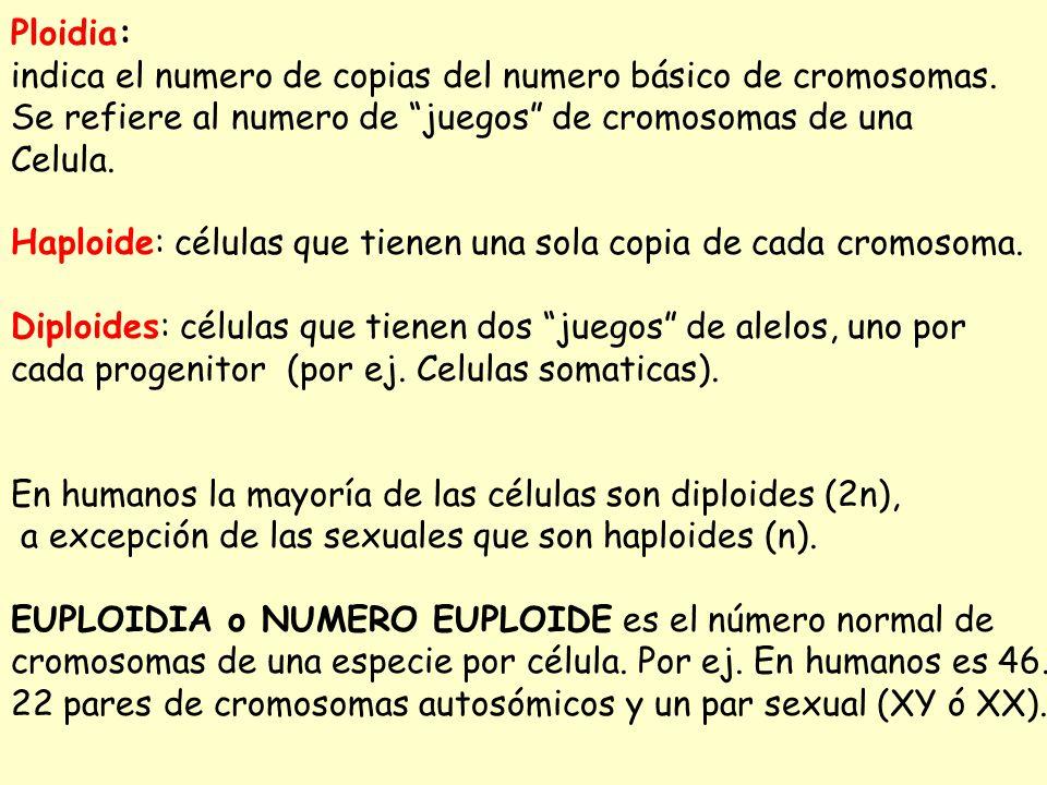 Ploidia: indica el numero de copias del numero básico de cromosomas. Se refiere al numero de juegos de cromosomas de una Celula. Haploide: células que