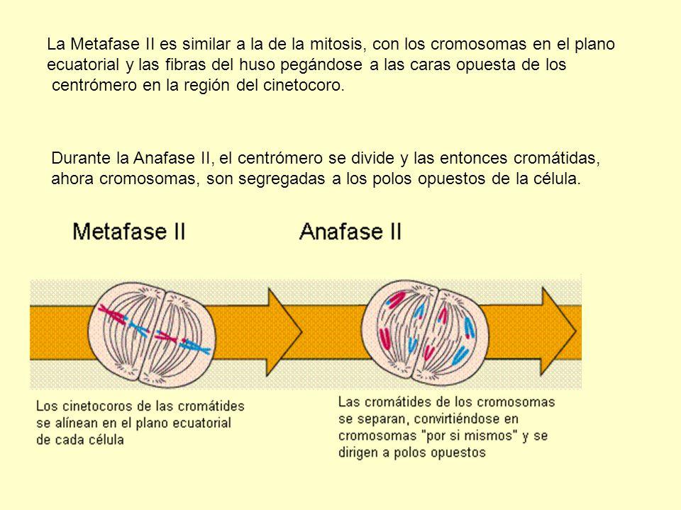 La Metafase II es similar a la de la mitosis, con los cromosomas en el plano ecuatorial y las fibras del huso pegándose a las caras opuesta de los cen