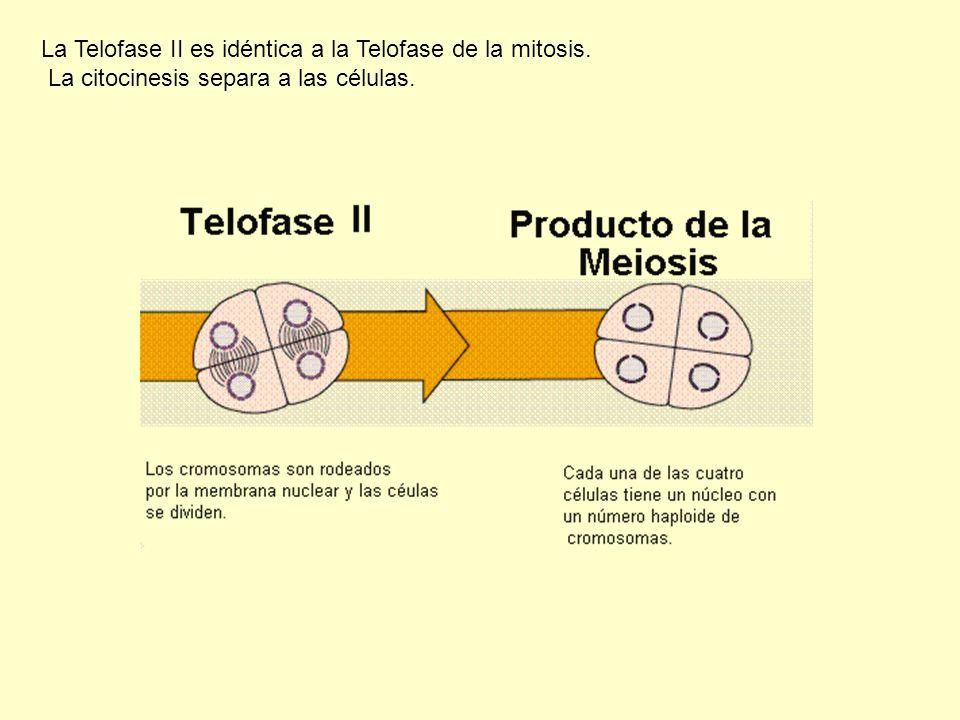 La Telofase II es idéntica a la Telofase de la mitosis. La citocinesis separa a las células.