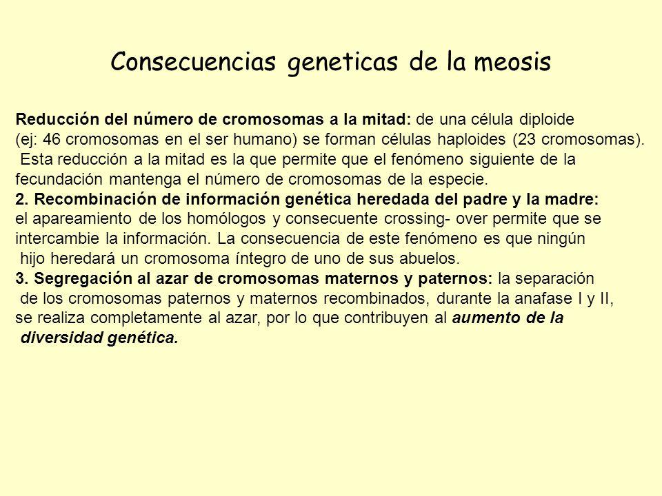 Consecuencias geneticas de la meosis Reducción del número de cromosomas a la mitad: de una célula diploide (ej: 46 cromosomas en el ser humano) se for