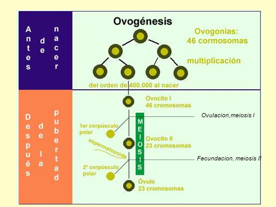 Ovulacion,meiosis I Fecundacion, meiosis II