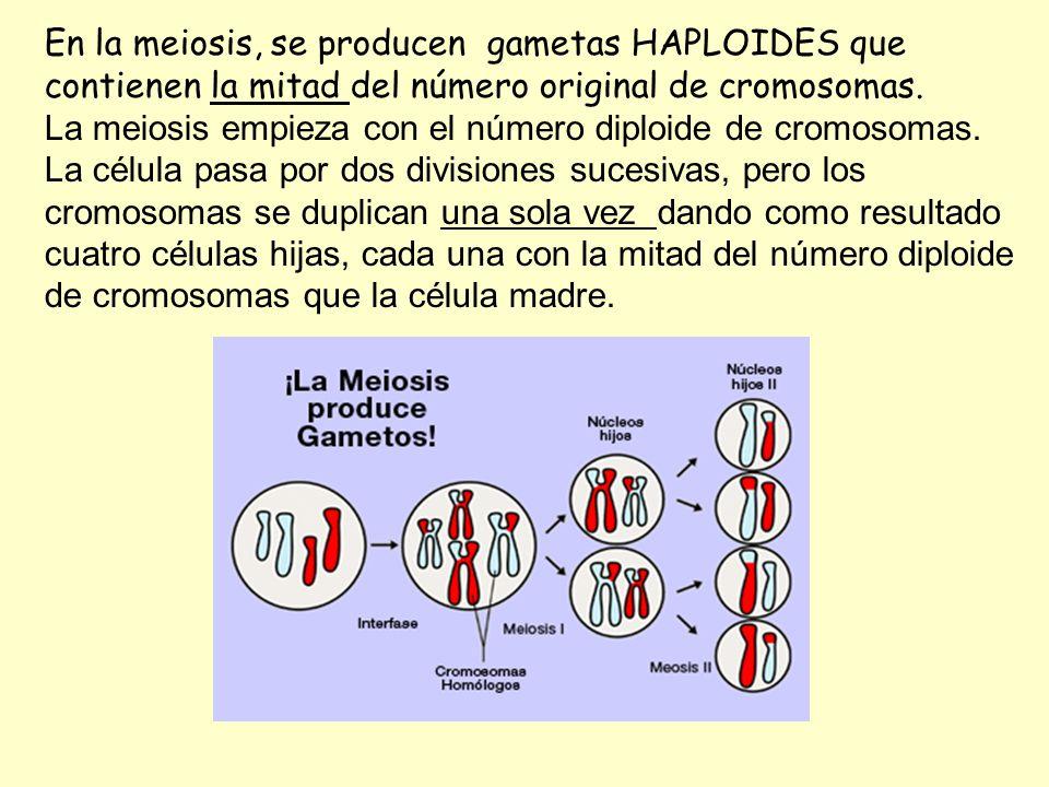 En la meiosis, se producen gametas HAPLOIDES que contienen la mitad del número original de cromosomas. La meiosis empieza con el número diploide de cr