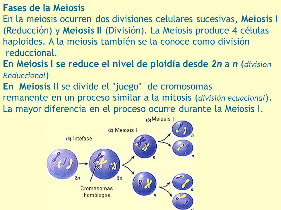Fases de la Meiosis En la meiosis ocurren dos divisiones celulares sucesivas, Meiosis I (Reducción) y Meiosis II (División). La Meiosis produce 4 célu