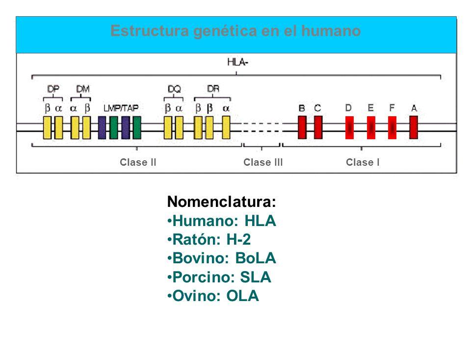 Nomenclatura: Humano: HLA Ratón: H-2 Bovino: BoLA Porcino: SLA Ovino: OLA Estructura genética en el humano Clase IIClase IIIClase I DEF