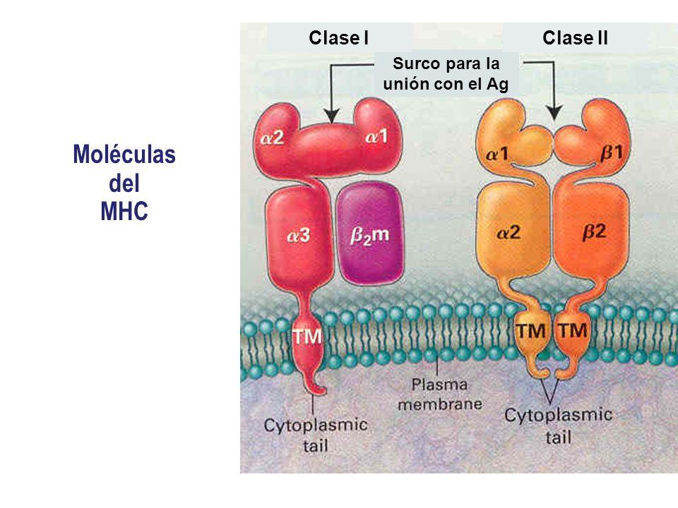 Moléculas del MHC Surco para la unión con el Ag Clase IClase II Células nucleadasCélulas presentadoras de Ag