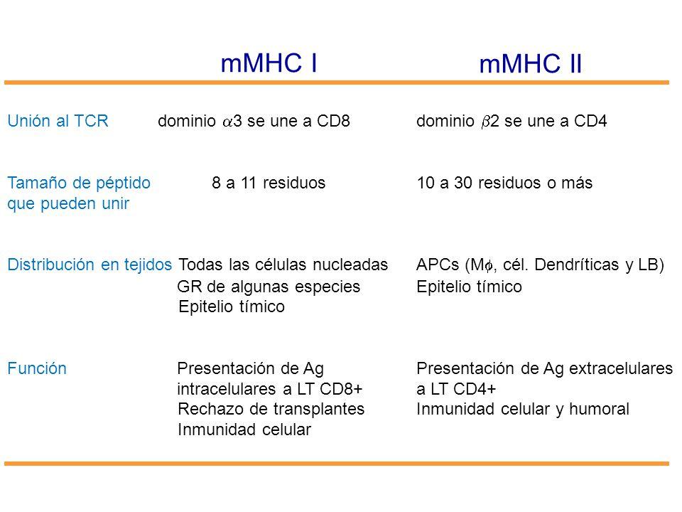mMHC I mMHC II Unión al TCR dominio 3 se une a CD8dominio 2 se une a CD4 Tamaño de péptido 8 a 11 residuos10 a 30 residuos o más que pueden unir Distr