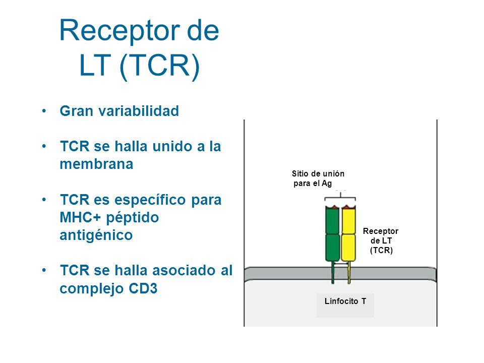 Gran variabilidad TCR se halla unido a la membrana TCR es específico para MHC+ péptido antigénico TCR se halla asociado al complejo CD3 Anticuerpo Sit