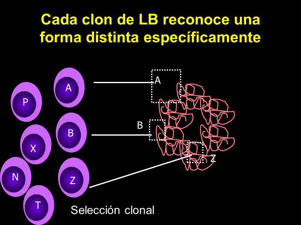 Cada clon de LB reconoce una forma distinta específicamente A B Z A B Z B P X T N Selección clonal