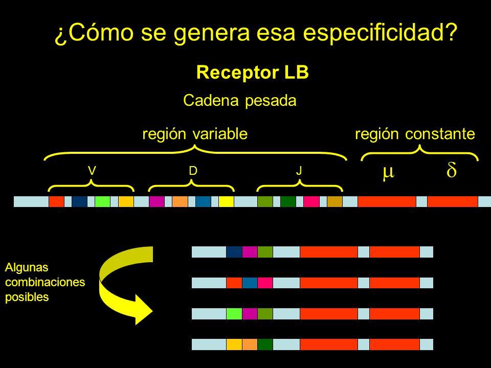 ¿Cómo se genera esa especificidad? Receptor LB Cadena pesada VDJ región variableregión constante Algunas combinaciones posibles