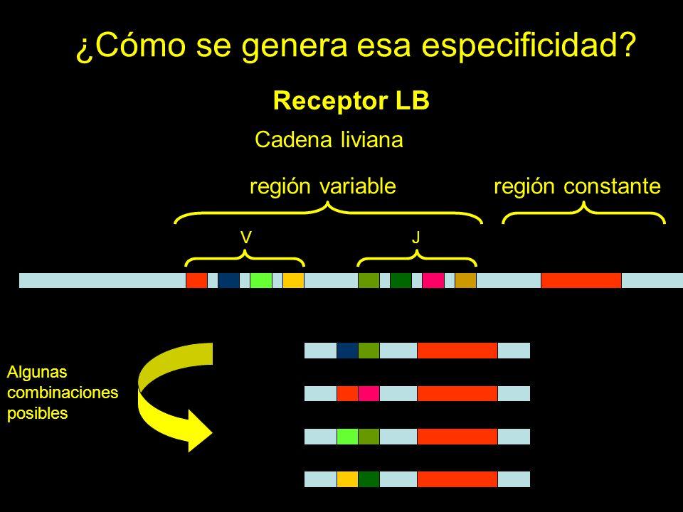 ¿Cómo se genera esa especificidad? Receptor LB Cadena liviana VJ región variableregión constante Algunas combinaciones posibles