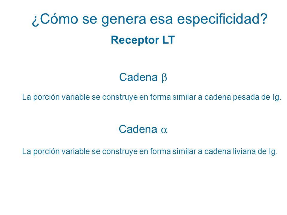 ¿Cómo se genera esa especificidad? Receptor LT Cadena La porción variable se construye en forma similar a cadena pesada de Ig. La porción variable se