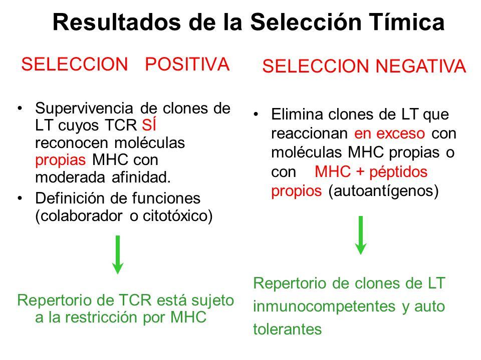 SELECCION POSITIVA Supervivencia de clones de LT cuyos TCR SÍ reconocen moléculas propias MHC con moderada afinidad. Definición de funciones (colabora